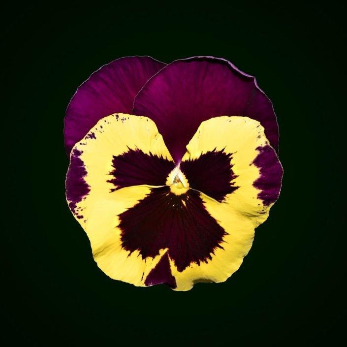 Plantae - Pansys - Pensamiento